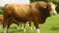 养一头肉牛能赚多少钱?
